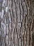 Casca de árvore do olmo Foto de Stock
