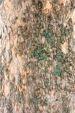 Casca de árvore do olmo com musgo verde fotos de stock royalty free