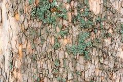 Casca de árvore do olmo com musgo verde foto de stock