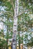 Casca de árvore do outono Imagem de Stock Royalty Free