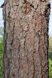 Casca de árvore do pinho da textura Imagem de Stock