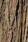 Casca de árvore do redwood de costa das madeiras de Muir Fotos de Stock