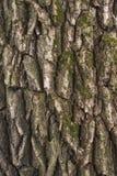 Casca de árvore do salgueiro Fotos de Stock