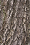 Casca de árvore do salgueiro Imagem de Stock Royalty Free