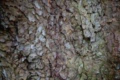 Casca de árvore do sicômoro Imagens de Stock