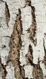 Casca de árvore do vidoeiro Fotos de Stock Royalty Free