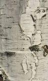 Casca de árvore do vidoeiro Imagens de Stock Royalty Free