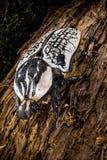 Casca de árvore dos orientalis de Goliathus fotografia de stock royalty free