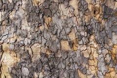 Casca de árvore envelhecida do Platanus, fundo da textura foto de stock