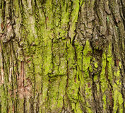 Casca de árvore musgoso Fotos de Stock Royalty Free