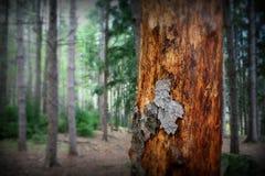 Casca de árvore na floresta do pinho Imagem de Stock