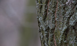 A casca de árvore no tronco é coberta por líquenes Fundo da floresta Imagem de Stock