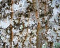 Casca de árvore preto e branco Imagem de Stock Royalty Free