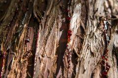 Casca de árvores coníferas fotografia de stock