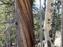 Casca de contraste em duas árvores de floresta adjacentes Fotografia de Stock