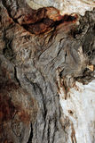 Casca de Gumtree Foto de Stock Royalty Free