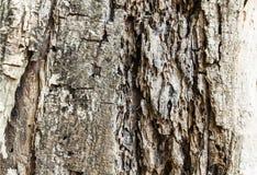 Casca de madeira da árvore velha Fotos de Stock