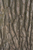 Casca de pinheiro Fotografia de Stock Royalty Free