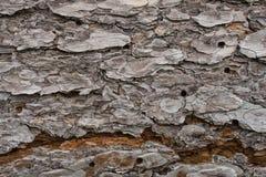 Casca de pinheiro Imagem de Stock Royalty Free
