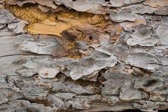 Casca de pinheiro Foto de Stock Royalty Free