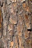 Casca de pinheiro velha Imagens de Stock Royalty Free
