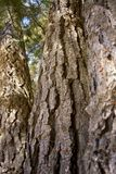 Casca de pinheiros velhos Imagem de Stock Royalty Free