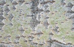 Casca de um álamo tremedor 2 Foto de Stock Royalty Free