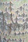 Casca de um álamo tremedor 4 Fotos de Stock