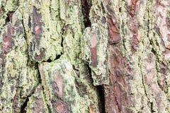 Casca de um pinho velho coberto com o líquene, textura, fundo foto de stock