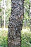 A casca de um pseudoplatanus de Acer do bordo do sicômoro disparou em uma floresta largo-com folhas Eslovênia da ravina Imagens de Stock