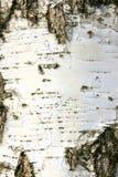 Casca de um vidoeiro Fotografia de Stock