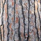 Casca de uma árvore de pinho Fotografia de Stock Royalty Free