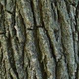 Casca de uma árvore, tronco marrom próximo no dia, textura áspera Imagem de Stock Royalty Free