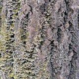 A casca de uma árvore velha Casca do larício foto de stock royalty free