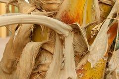 Casca de uma palma Imagem de Stock