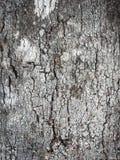 Casca de uma ?rvore Textura da casca de ?rvore Textura ?spera de madeira foto de stock royalty free
