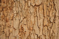 A casca de uma textura da árvore Fotos de Stock Royalty Free