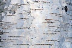 Casca de vidoeiro Foto de Stock Royalty Free