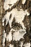 Casca de vidoeiro Imagens de Stock