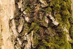 Casca de vidoeiro Fotografia de Stock Royalty Free