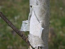 Casca de vidoeiro imagem de stock