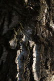 Casca de vidoeiro Imagens de Stock Royalty Free