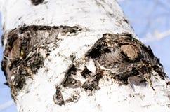 Casca de vidoeiro bark Árvore Céu azul Partes do céu Casca de madeira E nave r imagens de stock royalty free