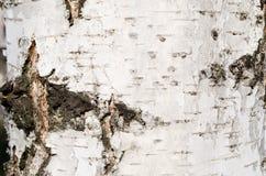 Casca de vidoeiro bark Árvore Casca de madeira E nave r Textura de madeira Texturas naturais Fundo woo foto de stock royalty free