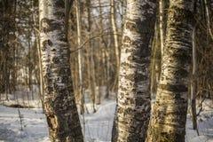 Casca de vidoeiro Bosque do vidoeiro da árvore de vidoeiro foto de stock