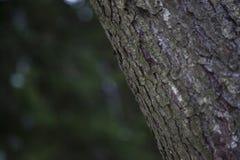 Casca de vidoeiro Bosque do vidoeiro da ?rvore de vidoeiro imagens de stock