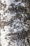 Casca de vidoeiro branco do russo Imagem de Stock
