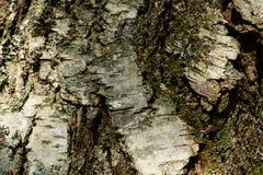 Casca de vidoeiro em um teste padrão da textura do fundo do tronco de árvore Imagens de Stock Royalty Free