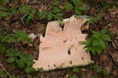Casca de vidoeiro na terra cercada por plantas imagem de stock