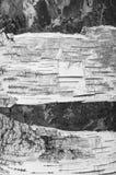 Casca de vidoeiro quebrada na textura BW das quebras Fotos de Stock